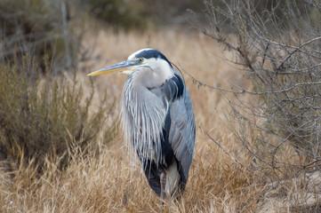 Great Blue Heron standing still