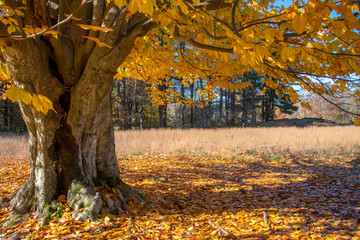 old oak tree with yellow foliage in autumn new england
