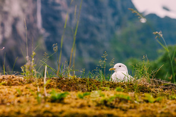 Seagull sitting on norway moss roof