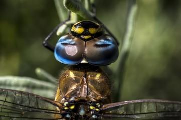 Macro fotografia fotografia ravvicinata alla libellula Aeshna Mixta