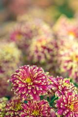 Japanese Chrysanthemum (Kiku) Macro