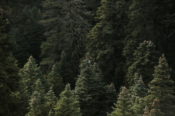 An environmental agent picks up pine cones on top of a Spanish fir to collect its seeds for reforestations at the Sierra de las Nieves natural park and biosphere reserve in Ronda