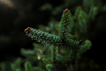 A branch of a Spanish fir is seen while an environmental agent picks up pine cones on top of it to collect its seeds for reforestations at the Sierra de las Nieves natural park and biosphere reserve in Ronda