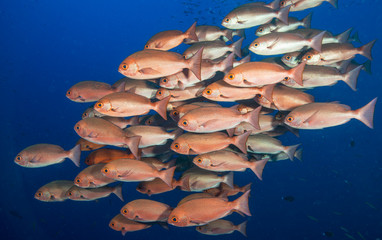 School of red fish