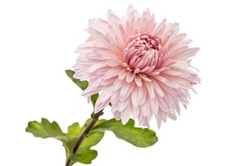 Chrysanthemum flower, isolated on white background