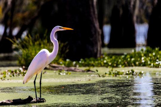 White Egret in Cajun Swamp & Lake Martin, near Breaux Bridge and Lafayette Louisiana
