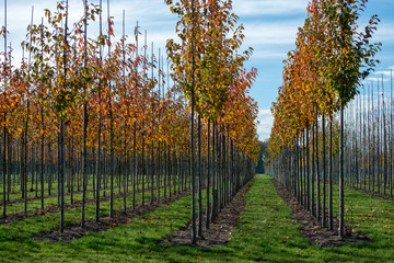 Obraz Public and privat garden, parks tree nursery in Netherlands, specialise in medium to very large sized trees, grey alder trees in rows in autumn - fototapety do salonu