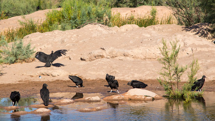 a day at the breach for black vultures