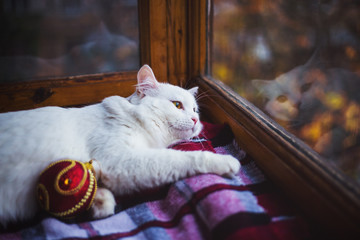 White furry domestic cat lying with red Christmas ball and looking at window with reflection at evening indoor.