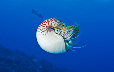 Nautilus in deep water