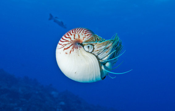 Underwater photo of a Nautilus swimming in deep water