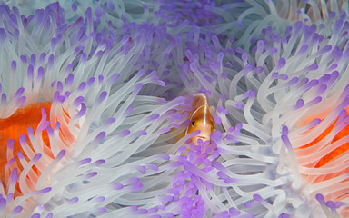 Clownfish in bleached anemone