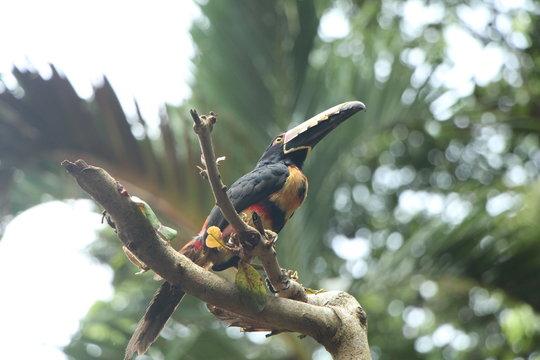 Caribbean Toucan in Costa Rica