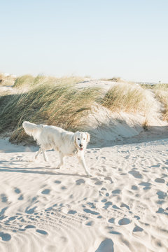Excited white golden retriever on a beach