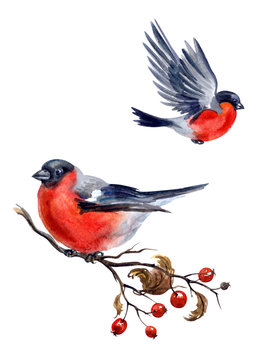 Bullfinch on hawthorn branch and flying bullfinch on white background, isolated with clipping path, watercolor illustration.