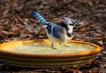 Perky blue jay getting wet and standing in a backyard birdbath.
