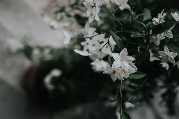 Bunch of white scented jasmine flowers