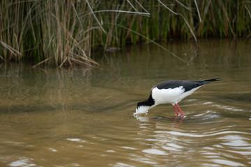 Pied stilt bird with head underwater