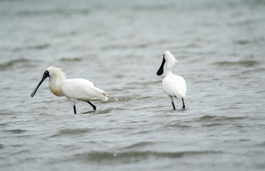 Spoonbills wading in the water 6