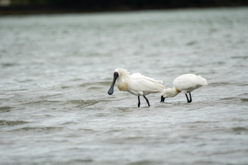 Spoonbills wading in the water 5