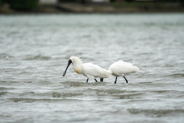 Spoonbills wading in the water 4