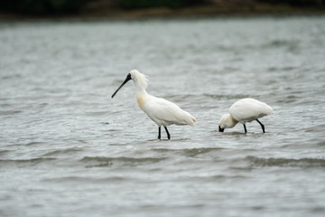 Spoonbills wading in the water 3