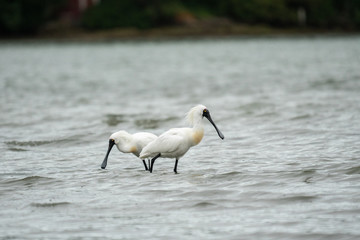 Spoonbills wading in the water 2