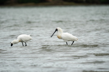 Spoonbills wading in the water