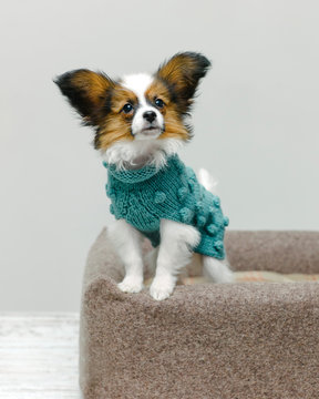Adorable dog in sweater on bed