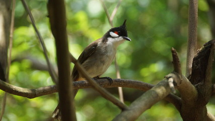 The red-whiskered bulbul, or crested bulbul, is a passerine bird found in Asia. It is a member of the bulbul family. It is a resident frugivore found mainly in tropical Asia