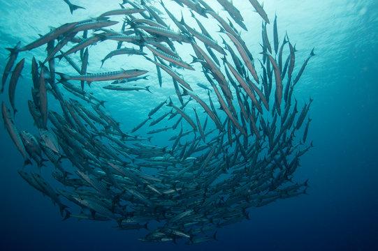 A school of barracuda in formation