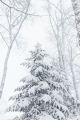 Evergreen tree covered in freshly fallen snow