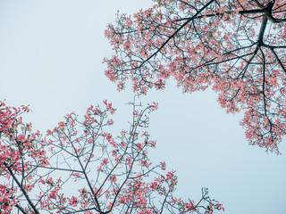 Ceiba insignis flower