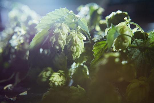Fresh green hop branch