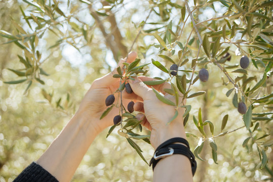 unidentified person holing blanches and picking olive fruits from olive tree