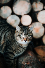 Striped cat climbing on a wood pile.