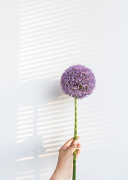 Hand holding bulbous purple flower with light and shadow