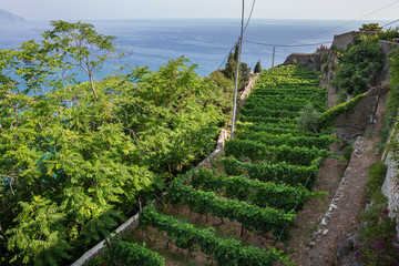 Vineyard on a very narrow block of land above the harbour at Monterosso al Mare, Liguria, Italy