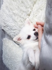 white little dog lying on the pillow blessed