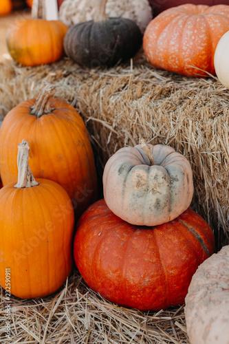 Rows of Pumpkins on Hay Bales