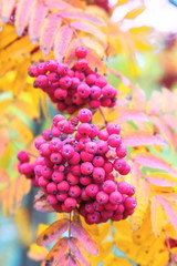 Bunches of ripe rowan.
