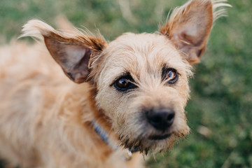 Adorable Terrier Dog