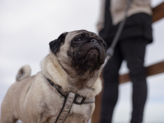 Adorable pug dog on walk