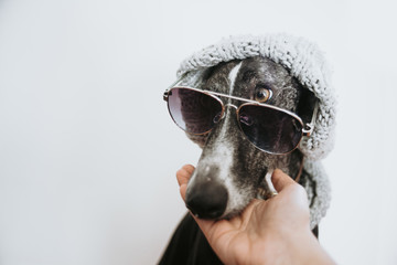 Greyhound with sunglasses and a wool hat