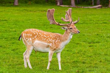 Deer Fotomurales