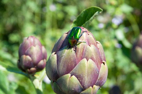Organic artichoke garden