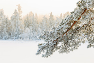Pine tree branch with frost in a winter landscape