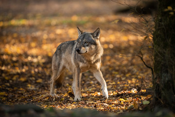 Fotobehang Wolf Grey Wolf in the forest