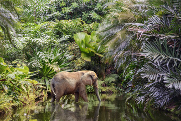 big elephant walks along the channel of a picturesque river in the green jungle.