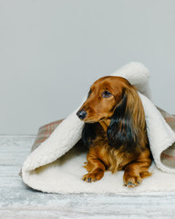 Long-haired dog on blanket